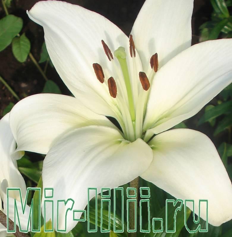 Цветы похожие на лилию