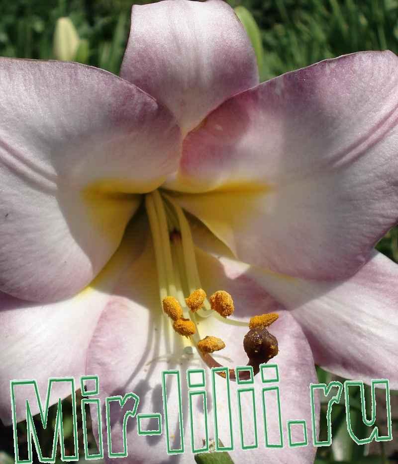 уход за белой лилией весной