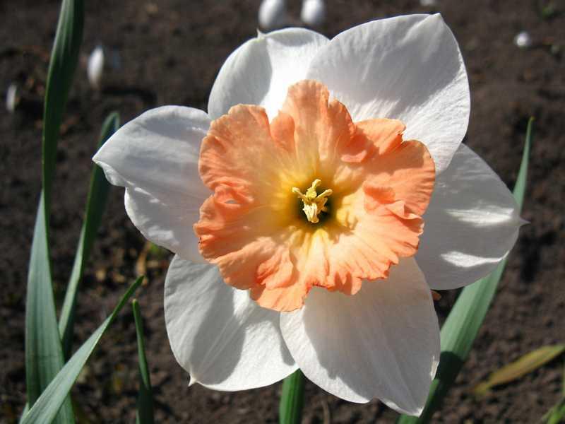 Всевозможные фото уникальных <b>тюльпанов</b>. Ресурс о нарциссах ...